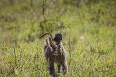 Fostra och behandla som ett barn babianapan i Serengetien Arkivfoton
