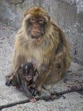 Fostra och behandla som ett barn Barbary Macaques Royaltyfri Bild