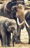 Fostra och behandla som ett barn elefanten Royaltyfria Bilder