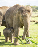 Fostra och behandla som ett barn elefanten Arkivbild
