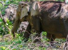 Fostra och behandla som ett barn elefanten Arkivfoton