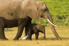 Fostra och behandla som ett barn elefanten Royaltyfria Foton