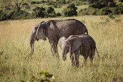 Fostra och behandla som ett barn elefanten Arkivfoto