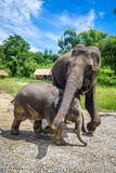 Fostra och behandla som ett barn elefanten, i skyddat, parkerar, Chiang Mai, Thailand arkivbild