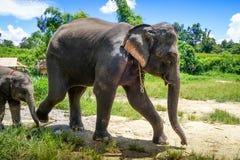 Fostra och behandla som ett barn elefanten, i skyddat, parkerar, Chiang Mai, Thailand royaltyfria bilder