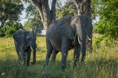 Fostra och behandla som ett barn elefanten som går till och med träd royaltyfri bild