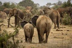 Fostra och behandla som ett barn elefanter Arkivfoto