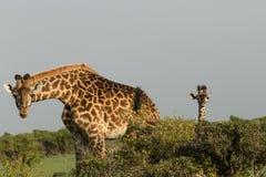 Fostra och behandla som ett barn giraffet i Maasaien Mara Royaltyfri Fotografi