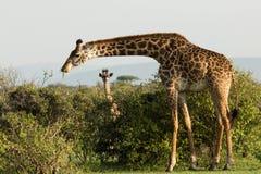 Fostra och behandla som ett barn giraffet i Maasaien Mara Arkivbild