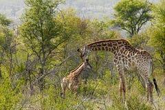 Fostra och behandla som ett barn giraffet i naturlig buske royaltyfri bild