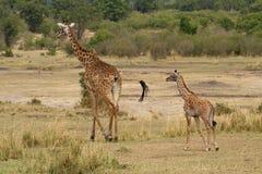 Fostra och behandla som ett barn giraffet som går för en gå Royaltyfri Bild