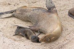 Fostra och behandla som ett barn sjölejonet på stranden Arkivfoto