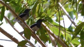 Fostra och behandla som ett barn skatarödhakefågeln på trädfilial arkivbilder