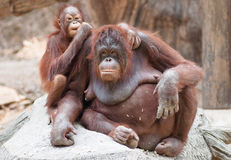 Fostra och behandla som ett barn orangutans Arkivfoto