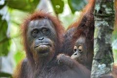 Fostra orangutanget och gröngölingen i en naturlig livsmiljö Arkivbilder