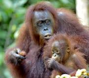 Fostra orangutanget och gröngölingen i en naturlig livsmiljö bornean orangutan Fotografering för Bildbyråer