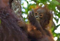 Fostra orangutanget och gröngölingen i en naturlig livsmiljö bornean orangutan Royaltyfri Bild