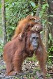 Fostra orangutanget och gröngölingen i en naturlig livsmiljö bornean orangutan Royaltyfria Bilder