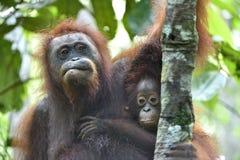 Fostra orangutanget och gröngölingen i en naturlig livsmiljö bornean orangutan Arkivfoton