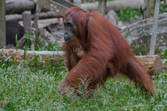 Fostra orangutangflyttningar som rymmer henne, behandla som ett barn (Indonesien) Royaltyfria Foton