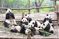 Fostra pandabjörnen och gulliga gröngölingar som tillsammans spelar, Chengdu, Kina royaltyfri fotografi
