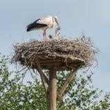 Fostra storken med behandla som ett barn storkar i redet Fotografering för Bildbyråer