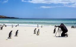 Fotógrafo con los pingüinos en Falkland Islands Imagenes de archivo