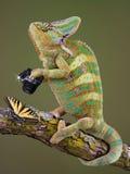 Fotógrafo del camaleón Fotografía de archivo