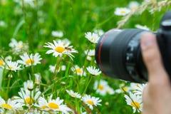 Fotógrafo macro que fotografía una abeja que chupa el néctar de la flor de la margarita en prado de la primavera Fotografía de archivo libre de regalías