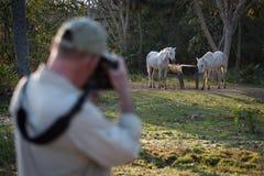 Fotógrafo que dispara em dois cavalos na calha da água Fotos de Stock