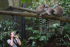 Fotógrafo que hace la foto de lémures Anillo-atados Foto de archivo libre de regalías