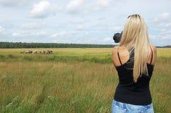 Fotógrafo que toma o retrato de cavalos selvagens Fotografia de Stock Royalty Free