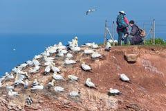 Fotógrafo que tomam imagens de albatrozes do norte na ilha alemão Helgoland Fotografia de Stock Royalty Free