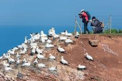 Fotógrafos que toman imágenes de Gannets septentrional en el isla alemán Imagen de archivo libre de regalías