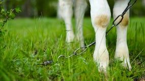 Fot av kedjat fast koanseende på gräset Arkivfoto