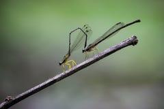 FotCopera för Damselfly gula marginipes royaltyfria bilder