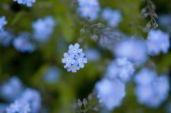 Fotget-mig-inte blommor Arkivfoto