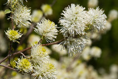 Fothergilla Stock Images