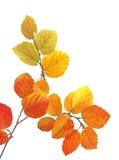Fothergilla leaves Stock Photo