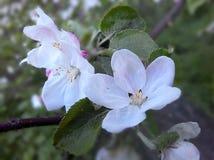 Fotoäpplet blommar/fruktträd av det tempererade klimatet Royaltyfria Bilder