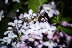 Foto влюбленности сирени цвета nikon цветков ` s кронов Korona начинает фотограф стоковое изображение rf