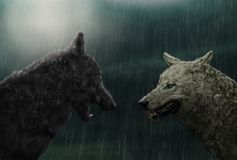Two wolves in rain. A fantasy image of two wolves standing in rain stock photos