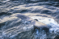 Foto aérea de baleias de corcunda de Alaska fotos de stock