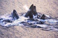 Foto aérea de las ballenas jorobadas de Alaska fotografía de archivo libre de regalías