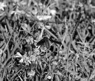 Foto aérea macra del perfil de una abeja que chupa el néctar de una pequeña flor blanca y amarilla Imagen de archivo