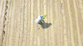 Foto aérea Os fazendeiros estão plantando o arroz nos campos do arroz à mão É o w tradicional filme