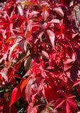Foto abstrata das folhas vermelhas do Creeper de Virgínia Foto de Stock