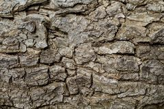 Foto agrietada de la textura del primer de la corteza de árbol Primer rústico de la corteza de árbol Modelo de la corteza del rob Fotografía de archivo
