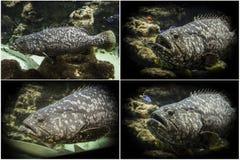 Foto ajustada: Garoupa do colosso (itajara do Epinephelus) Foto de Stock