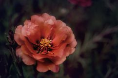 Foto alaranjada grande bonita da flor foto de stock